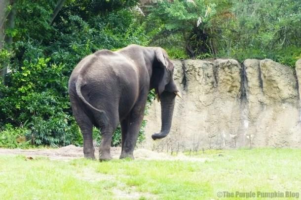 Elephant at Animal Kingdom