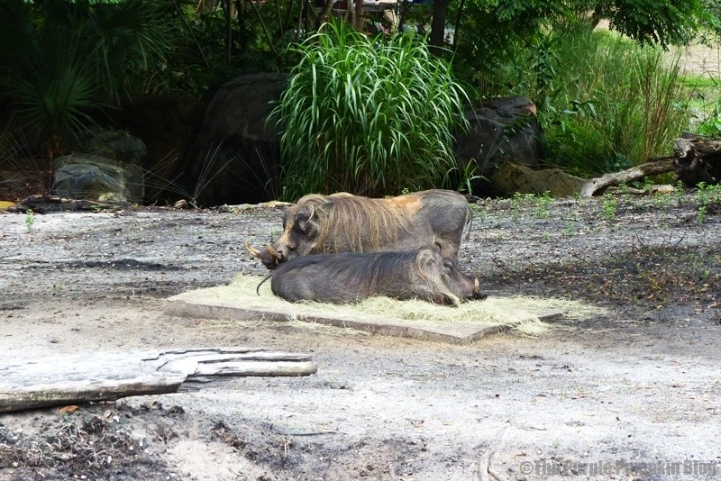 Warthog at Animal Kingdom
