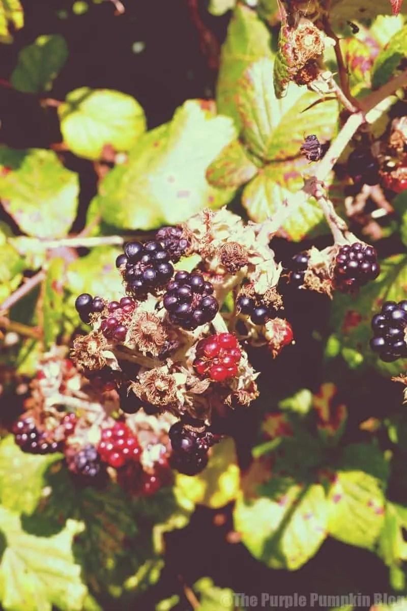 Reasons To Love Autumn - blackberry picking