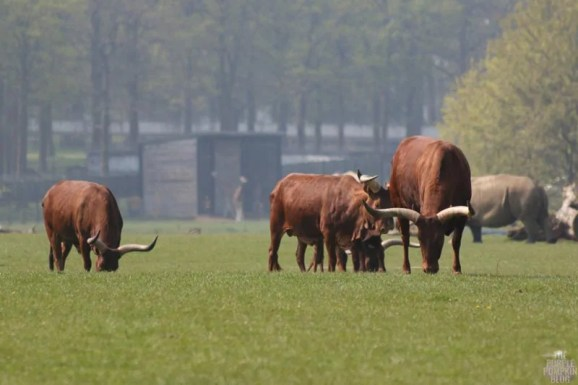 Ankole Cattle - Woburn Safari Park