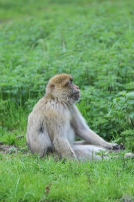 Barbary Macaque - Woburn Safari Park