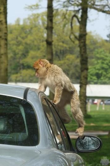 Barbary Macaque - Woburn Safari Park