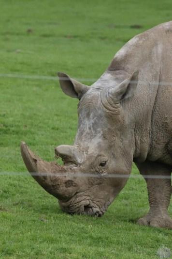 Southern White Rhino - Woburn Safari Park