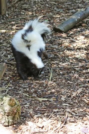 Striped Skunk