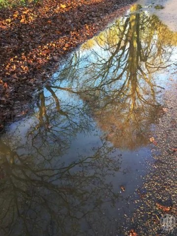 Project 365 - 2017 - Day 2 - Reflection of the trees in a puddle