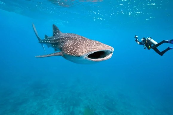 Whale Shark - Maldives