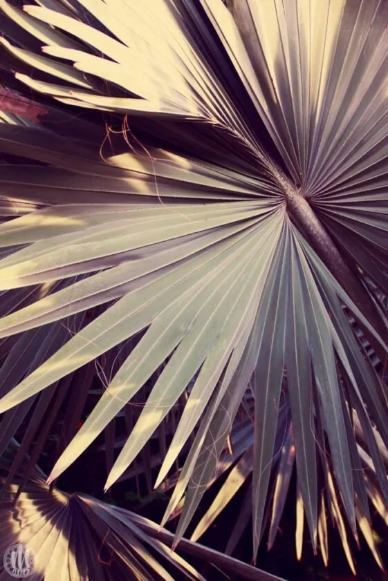 Project 365 - 2017 - Day 248 - Palm Leaves