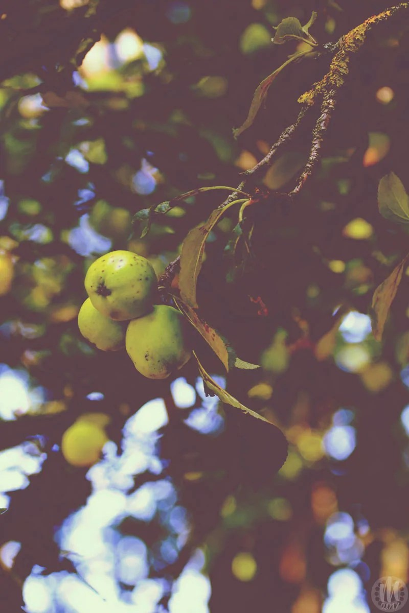 Project 365 - 2017 - Day 254 - crab apple tree