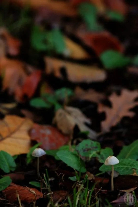 Project 365 - 2017 - Day 308 - tiny wild mushrooms