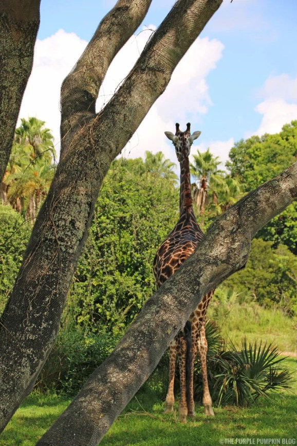 Kilimanjaro Safaris - Animal Kingdom - Giraffe