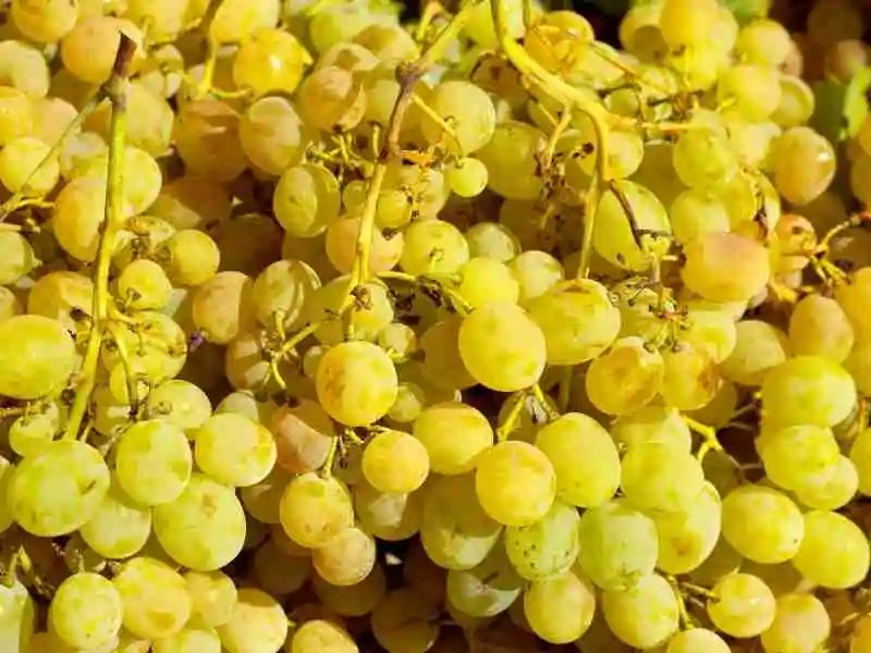 Muscat Grapes