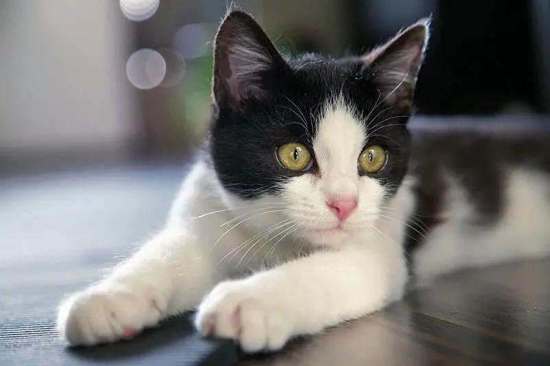 9 reasons tuxedo cats