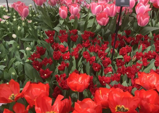 This picture is a great example of how much the shape and size of tulips can vary!