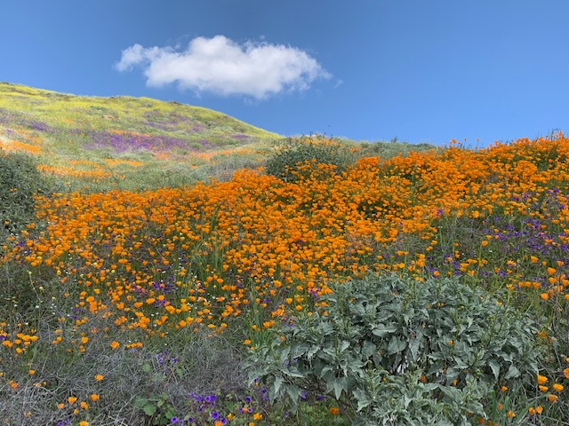 The hillsides in Southern California are a kaleidoscope of colors right now!