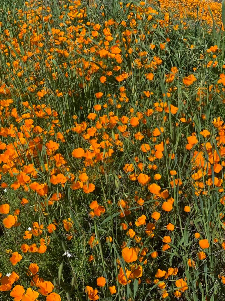 The California Poppies at Lake Elsinore stretched as far as the eye could see!