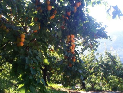 apricots_valais_tree_switzerland_suisse_geneva
