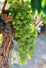 white wine grapes james flewellen