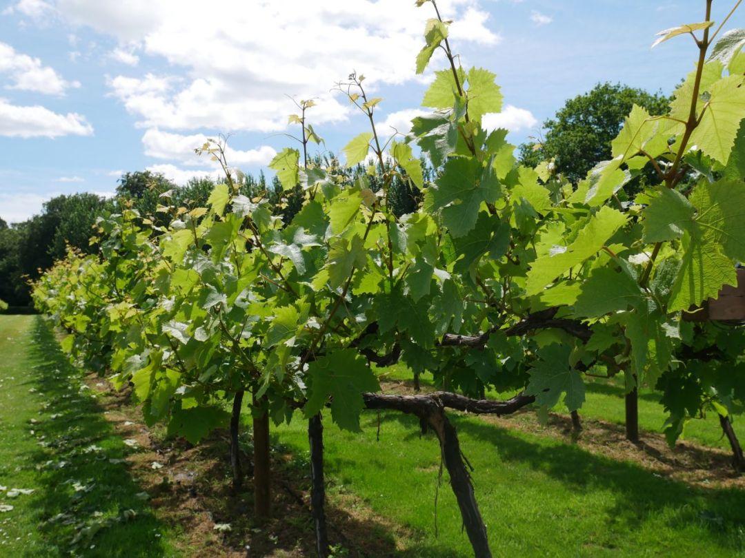 Vines up-close at Llanerch Vineyard