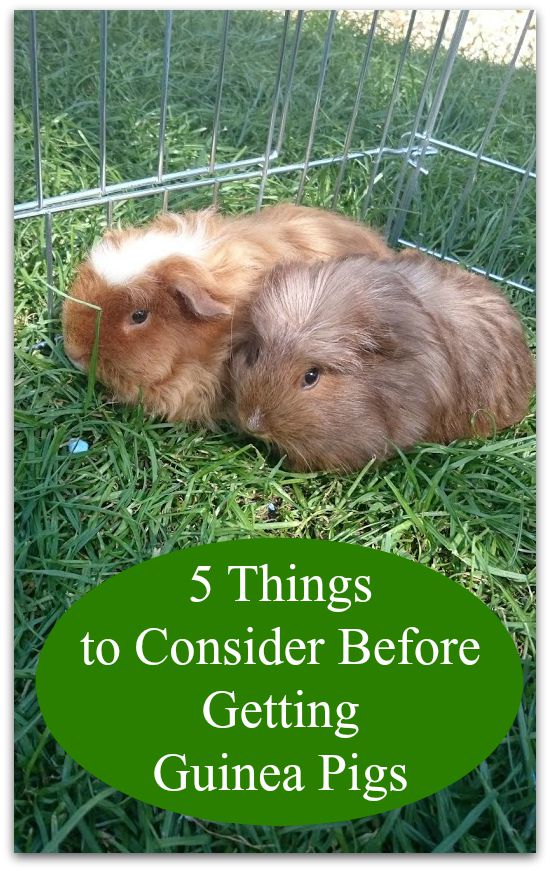 5 Things to Consider Before Getting Guinea Pigs