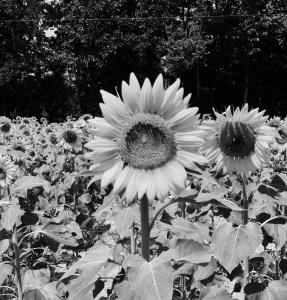 Sunflower, sunflower without the sun, ain't no sunshine, flower, field, somber, grim, persistent, persistence, have faith