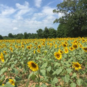 God's country, sunflowers, flowers, blue sky, beauty, nature, Lancaster County, South Carolina, Summer, Summertime,