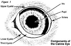 Jack Russell Terrier Jrtca Medical In A Dog S Eye
