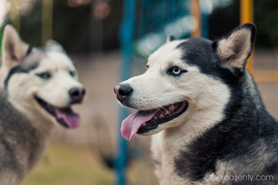 huskies-pink-nose-001
