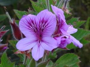 Wild Malva (Pelargonium cucullatum)