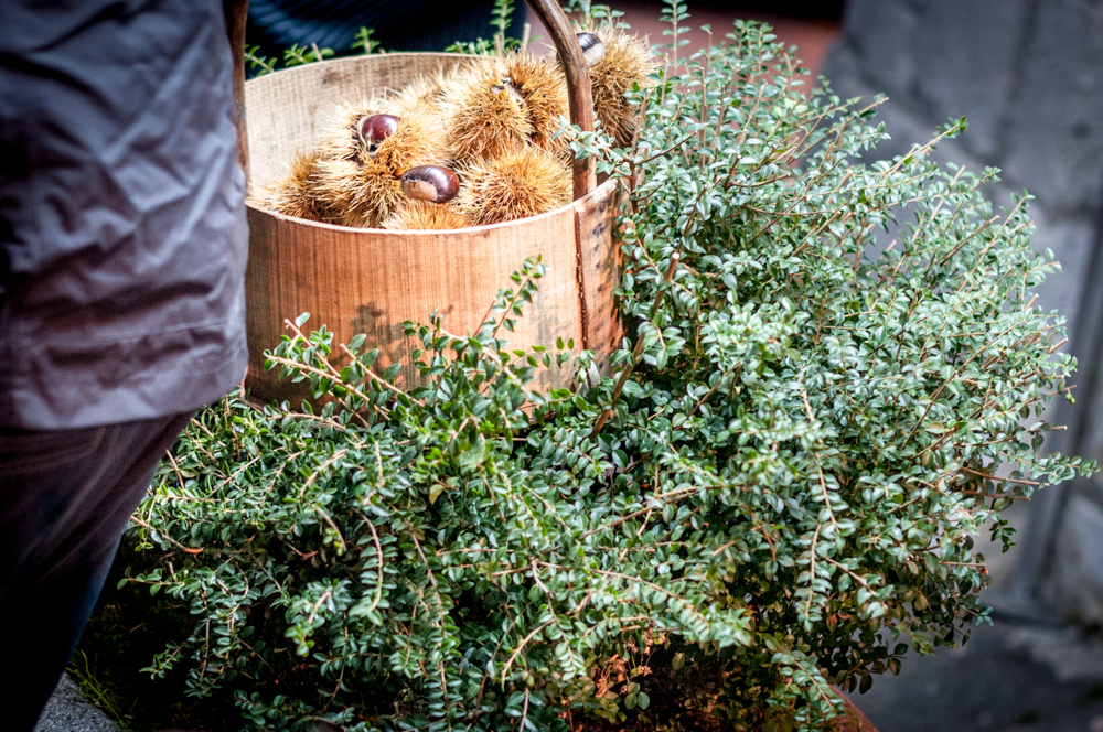 A basket of chestnuts -- fresh off the tree