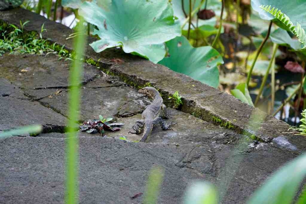 Monitor Lizard | Amazing Photos to Inspire You to Visit Bali | The Republic of Rose