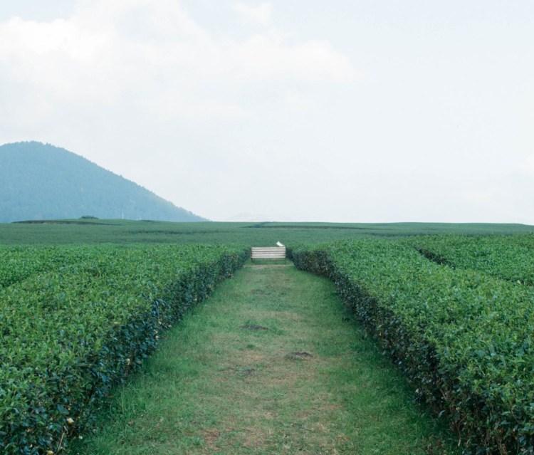 osulloc-tea-fields