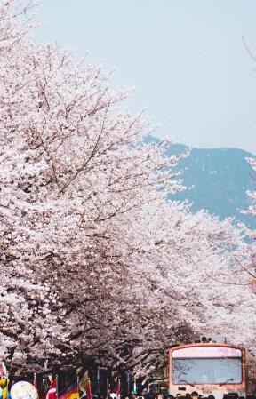 Cherry Blossoms in Jinhae, Korea