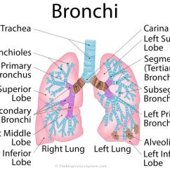Branches Branching Tree Diagram Single Phase Motor With 2 Capacitor Wiring Bronchi Definition, Location, Anatomy, Functions, Pictures