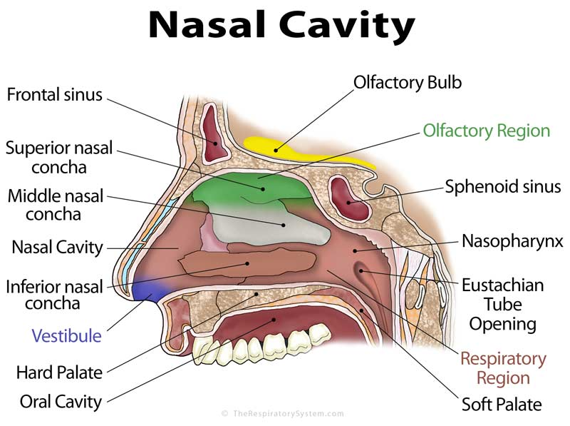 Image result for nasal cavity