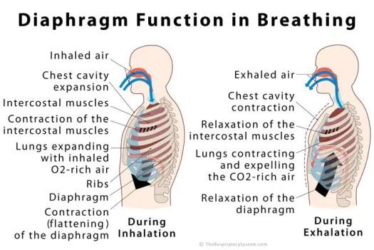 Human Anatomy Diaphragm Function – Periodic & Diagrams Science
