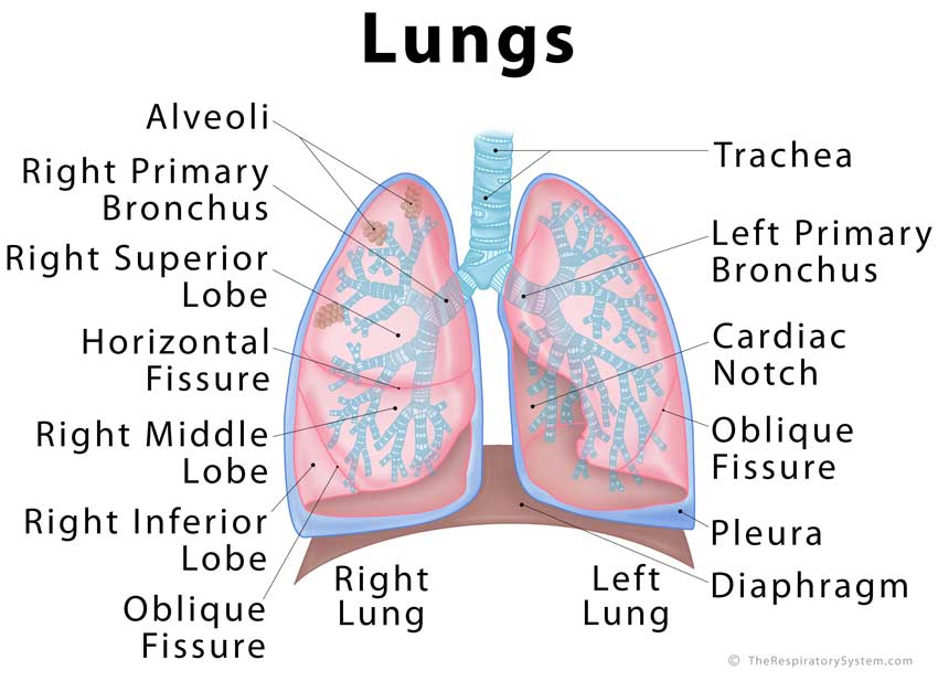 lung lobes diagram reversing single phase motor wiring lungs: definition, location, anatomy, function, diagram, diseases