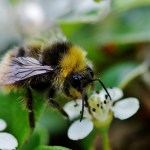 The Importance of Bees and Saving the Bee Population