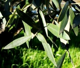 Olive Leaf Tea – The Green Tea Alternative