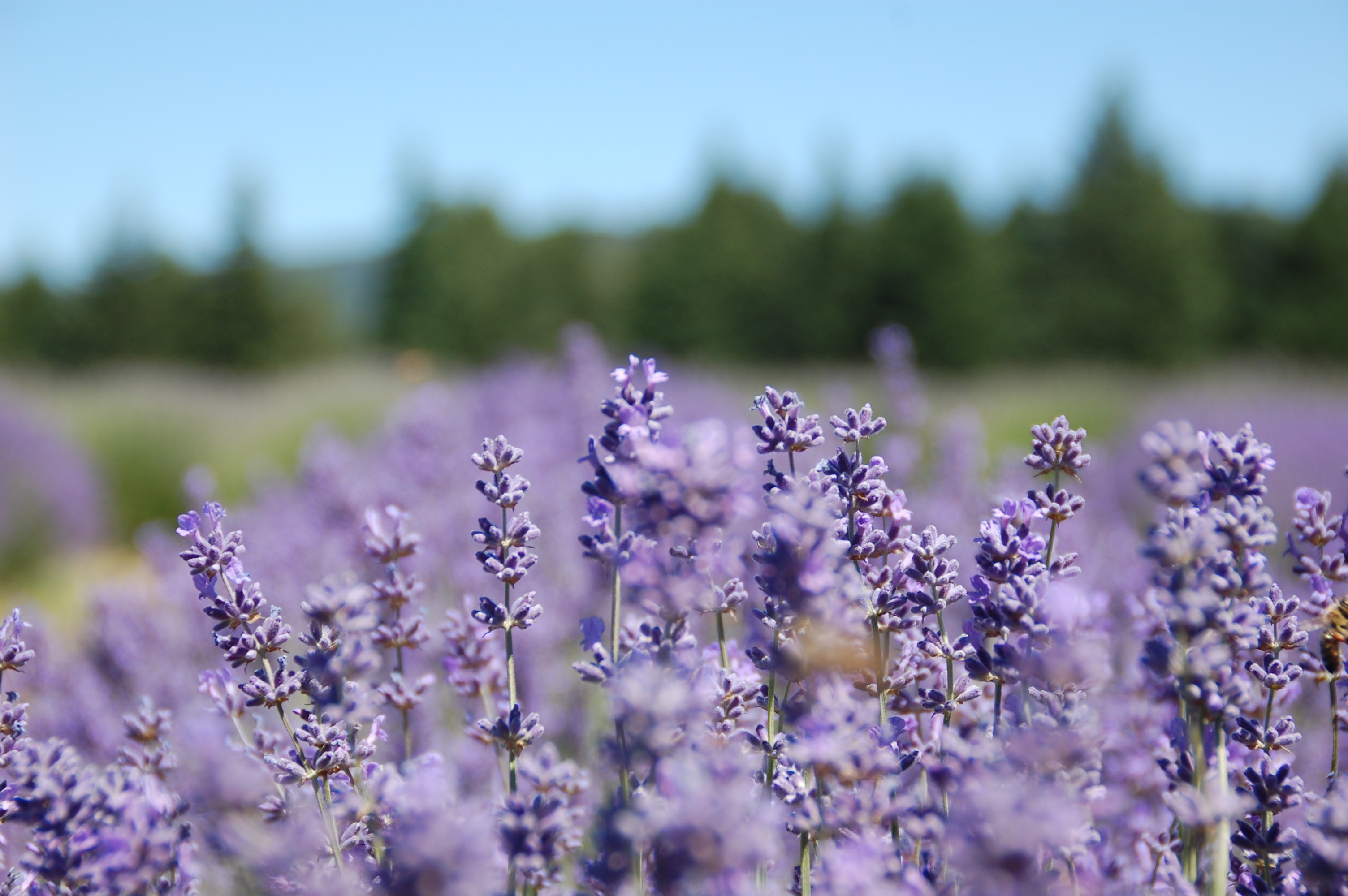 Lavender Valley Farms, Oregon | theringers.co