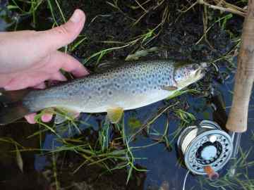 a trout of any size