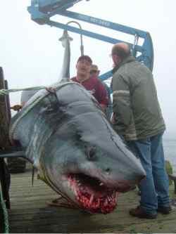 new record shark