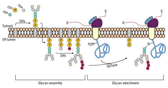 蛋白質糖基化修飾大全-表觀組-生信技能樹