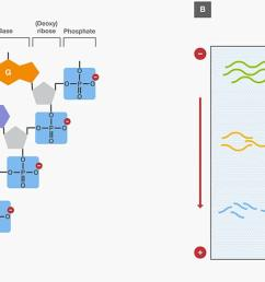 nucleic acid gel electrophoresis a brief overview and history thermo fisher scientific ca [ 1200 x 739 Pixel ]