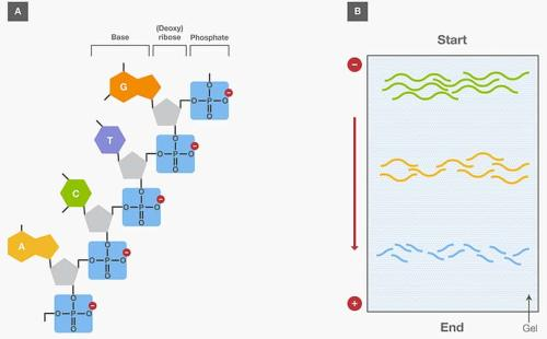 small resolution of nucleic acid gel electrophoresis a brief overview and history thermo fisher scientific ca