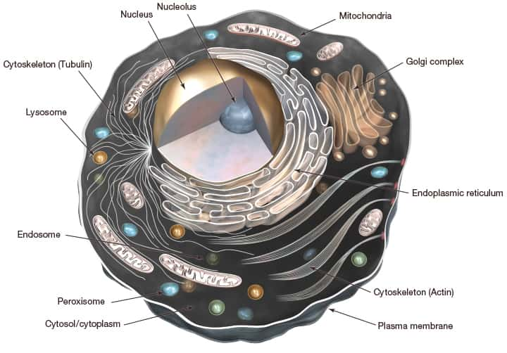 parts of a cell diagram pig dissection blank imaging structure thermo fisher scientific za