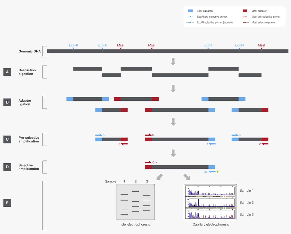 Restriction Enzymes in Genome Mapping and Analysis