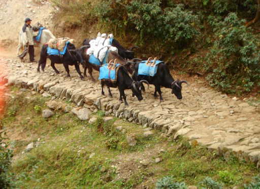 Yaks on the road to Namche Bazaar, Nepal