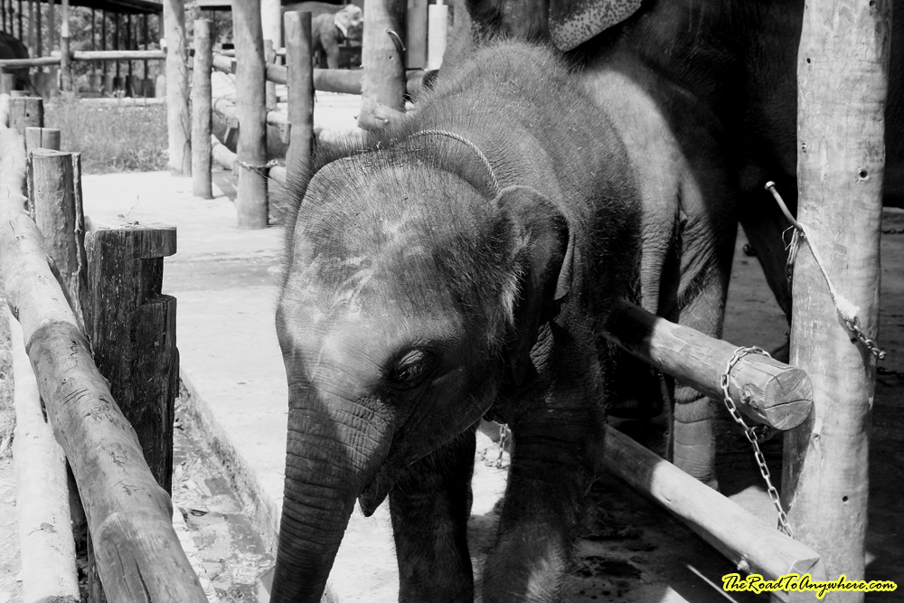 A baby elephant at an elephant camp near Chiang Mai, Thailand