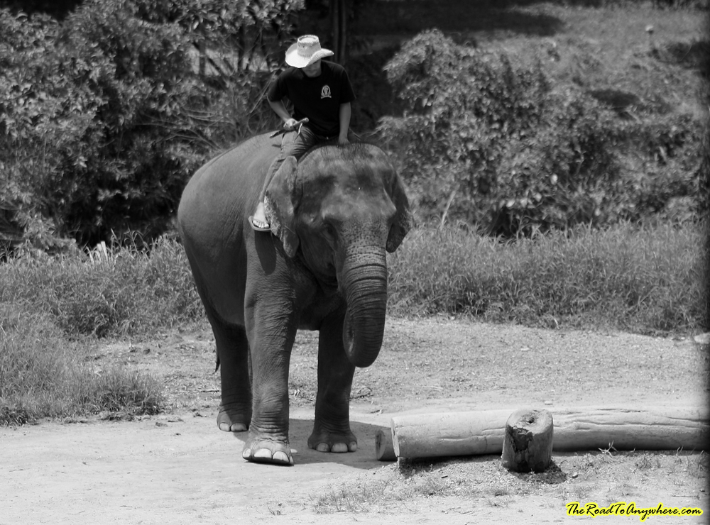 Elephant moving a log at an elephant camp near Chiang Mai, Thailand