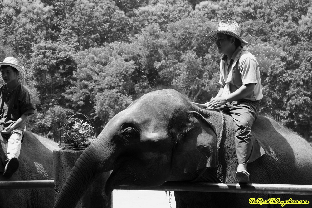 man on an elephant at an elephant camp near Chiang Mai, Thailand